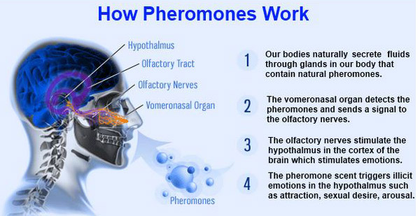 How_Pheromones_Work